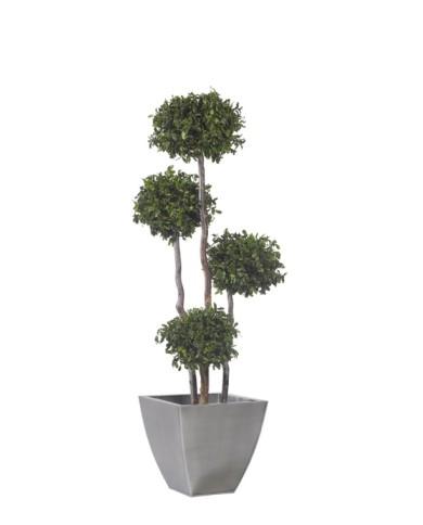 Pittosporum-Baum - konserviert - mit 4 Kugeln, ca. 180cm