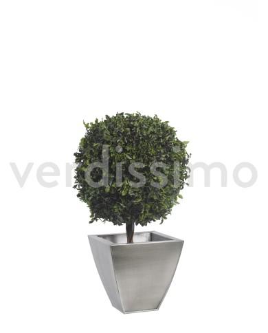 Konservierte Pittosporum Kugel, ca. 65cm hoch (45 cm ø)