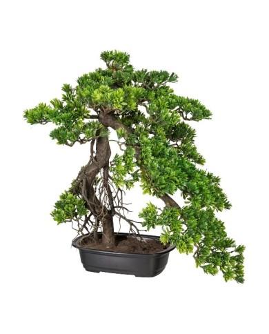 Bonsai Podocarpus, ca 55cm, grün
