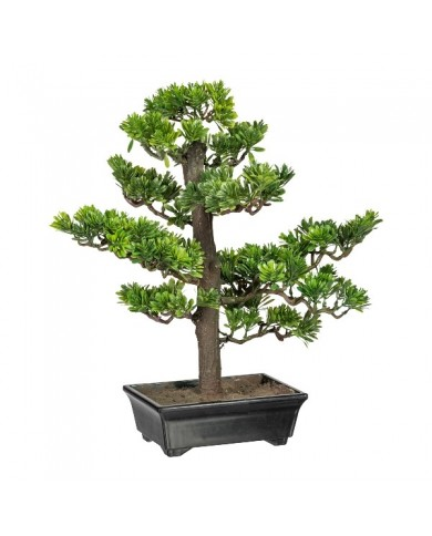 Bonsai Podocarpus, ca 43cm, grün