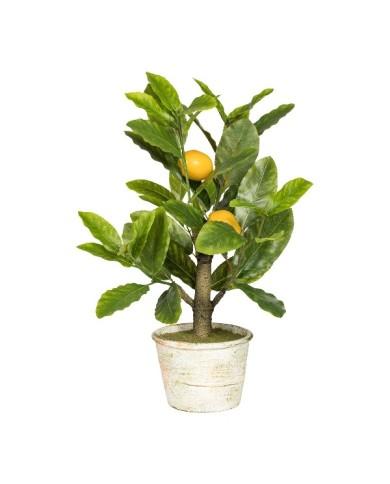 Bonsai Zitrone, ca 45cm