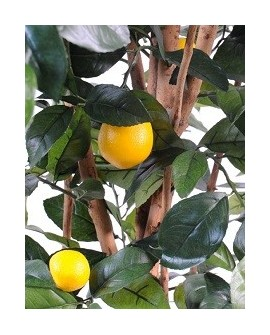Zitrus / Zitronenbaum
