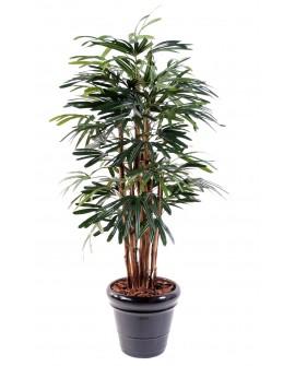 Rhapis palmiers